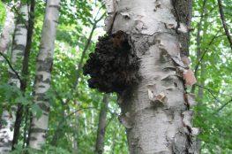 Čaga - drevna gljiva je konzistencija različitih kemijskih spojeva